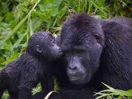 Day 2: Gorilla tracking in volcanoes national park